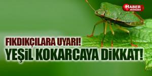 Fındık Yeşil Kokarcasına Dikkat