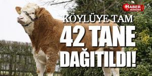 Samsun'da Köylüye 42 Adet Simental Irkı Damızlık Boğa Dağıtıldı!