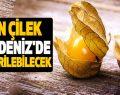Altın Çilek Samsun'da da Yetiştirilebilecek