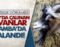 Niksar'da Çalınan Hayvanlar Çarşamba'da Yakalandı
